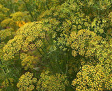 dill-seed